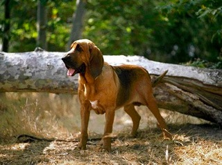 bloodhound searching