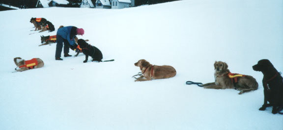 Avalanche K9 Search and Rescue Dog