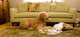 destructive puppy chewing